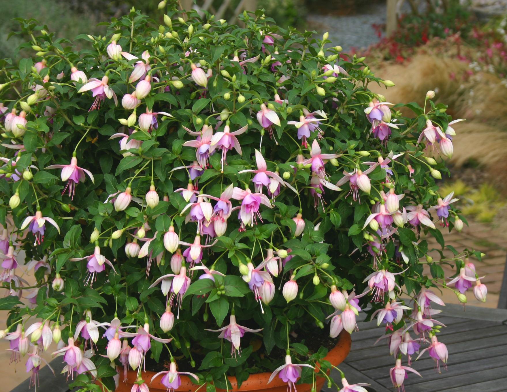 Fuchsia (fuksja)