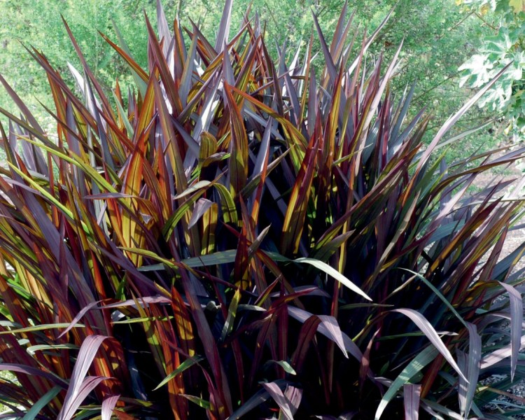 Pennisetum - rozplenica