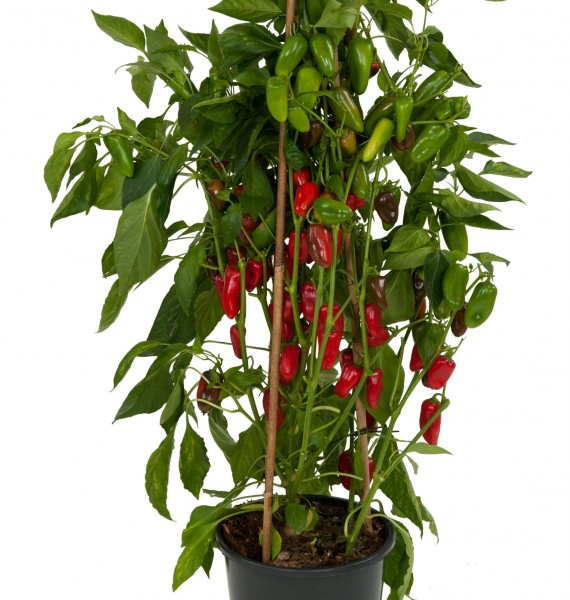 Papryka (Capsicum) Tiny Bells Red