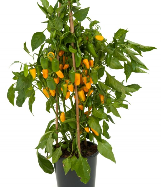 Papryka (Capsicum) Tiny Bells Yellow