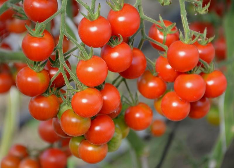 Pomidor (Tomato) Baby Maya