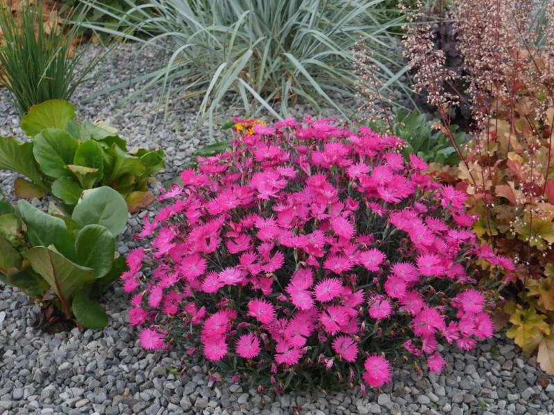 Dianthus (goździk)
