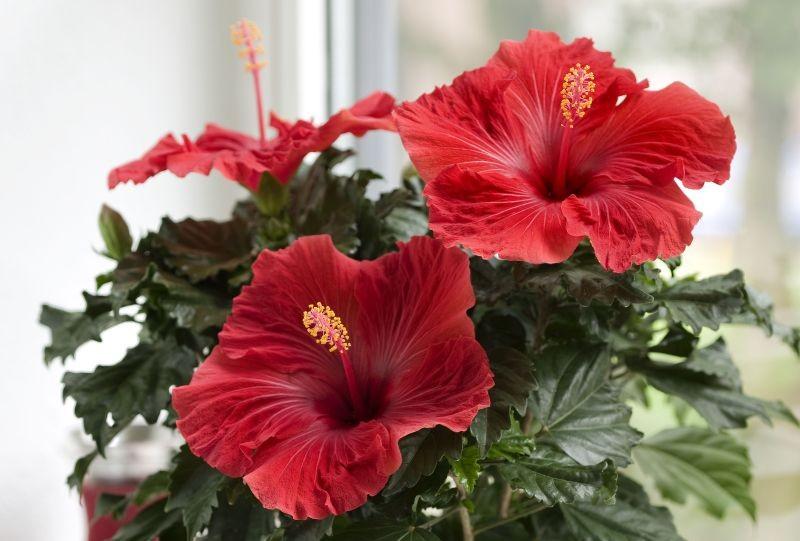 Hibiscus (hibiskus, ketmia)