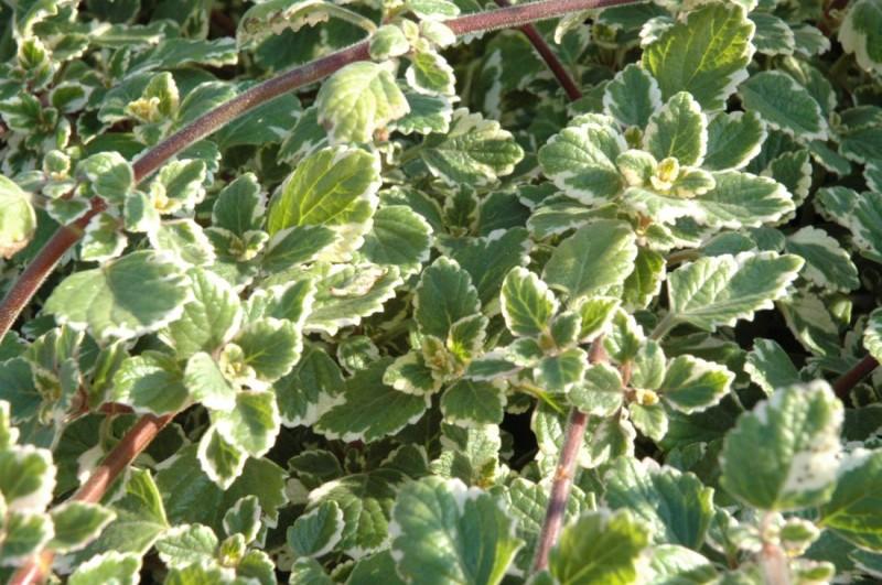 Plectranthus (plektrantus)
