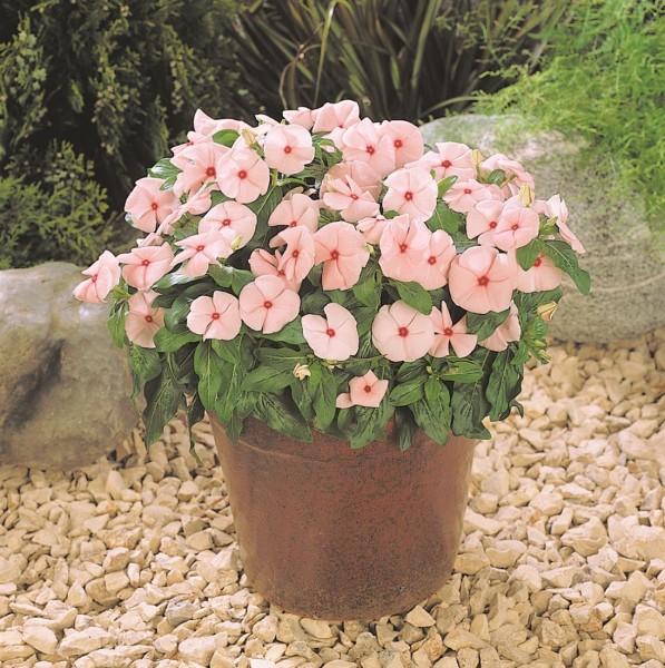 Vinca seria Pacifica (catharanthus roseus/barwinek różowy)