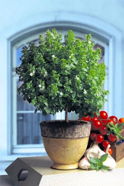 Ocimum basilicum (bazylia)
