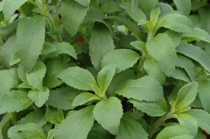 Stevia (stewia)