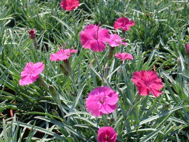Dianthus - goździk