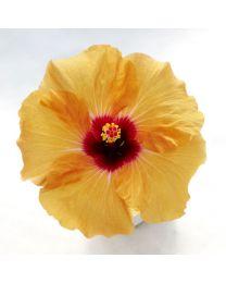 Hibiscia Adonicus Apricot