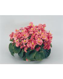 Begonia semperflorens Super Olympia Pink 264 szt