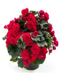 Begonia Cottage Carmen Red