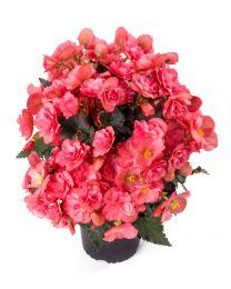 Begonia Cottage Chloe Coral Pink