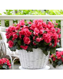 Begonia Cottage Frivola Pink