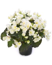 Begonia Cottage Glory White