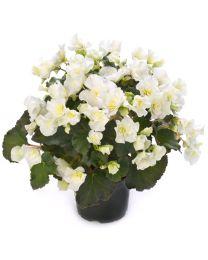 Begonia Cottage Glory White