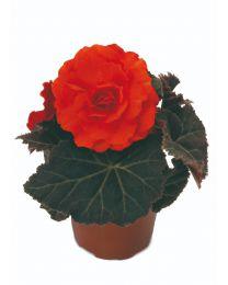 Begonia Mocca Deep Orange 84 szt