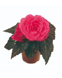 Begonia Mocca Pink Shades 84 szt