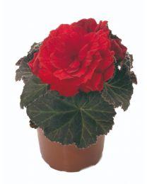 Begonia Mocca Scarlet 84 szt