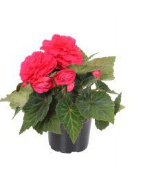 Begonia Nonstop Deep Rose 220 szt