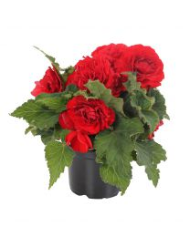 Begonia Nonstop Red 220 szt