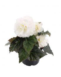 Begonia Nonstop White 220 szt