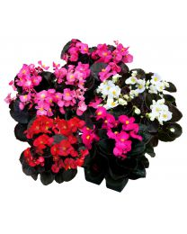 Begonia semperflorens Senator Mix 264 szt