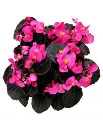 Begonia semperflorens Senator Rose 390 szt