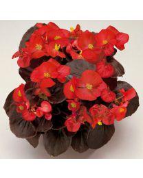 Begonia semperflorens Senator Scarlet 264 szt