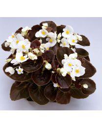 Begonia semperflorens Senator White 390 szt