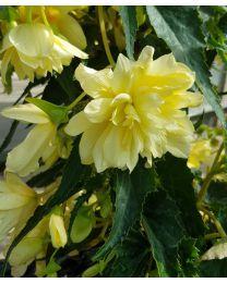 Begonia Summerwings Double Cream