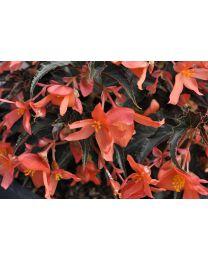 Begonia Summerwings Orange Elegance