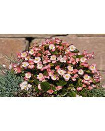 Begonia semperflorens Super Olympia Bicolor 264 szt