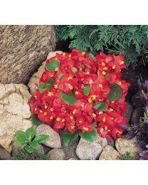 Begonia semperflorens Super Olympia Red 264 szt