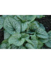 Brunnera Alexander's Great