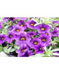 Superbells Pocket Lilac