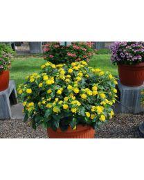 Lantana Calippo Gold/ sunny Ville yellow