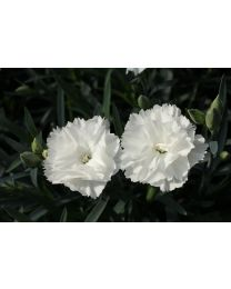 Dianthus Dinamic White