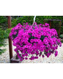 Dianthus Divine Basket Neon Purple