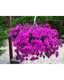 Dianthus Divine Divine Basket Neon Purple
