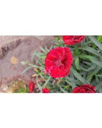 Dianthus Divine Burgundy Black Eye