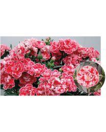 Dianthus Divine Pink Splash