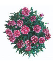Dianthus Pinocchio Amarena