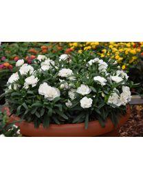 Dianthus Pinocchio Bianco