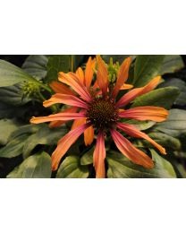 Echinacea Cornetto Orange