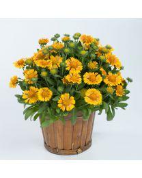 Gaillardia Galya Yellow