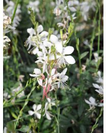 Gaura Flamingo White