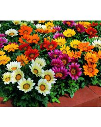 Gazania s.Kiss Mix 264 szt