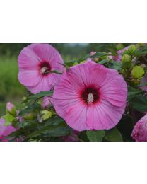"Hibiscus ""Summerific"" Candy Crush"