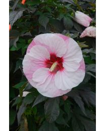 "Hibiscus ""Summerific"" Perfect Storm"