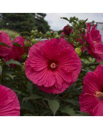 """Hibiscus """"Summerific"""" Summer in Paradise"""